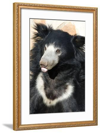 Indian Sloth Bear-Spaxia-Framed Photographic Print