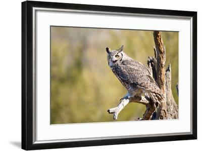 Great-Horned Owl , Arizona-Birdiegal-Framed Photographic Print