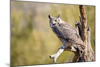 Great-Horned Owl , Arizona-Birdiegal-Mounted Photographic Print