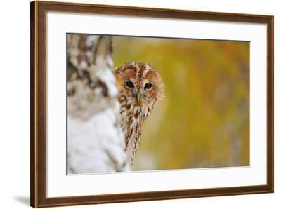 Courious Tawny Owl-Stanislav Duben-Framed Photographic Print