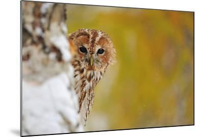 Courious Tawny Owl-Stanislav Duben-Mounted Photographic Print