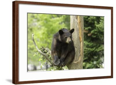 Black Bear in a Tree-Josef Pittner-Framed Photographic Print
