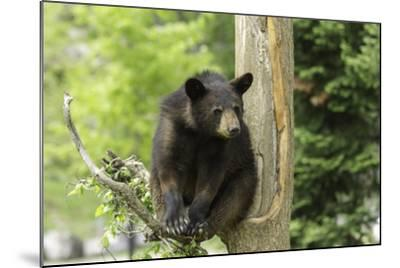 Black Bear in a Tree-Josef Pittner-Mounted Photographic Print