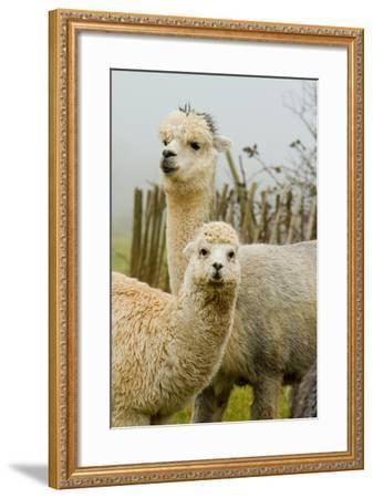 An Alpaca Mother and Baby-acceleratorhams-Framed Photographic Print