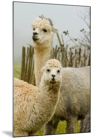 An Alpaca Mother and Baby-acceleratorhams-Mounted Photographic Print