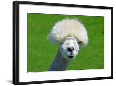 Alpaca-meunierd-Framed Photographic Print