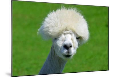 Alpaca-meunierd-Mounted Photographic Print