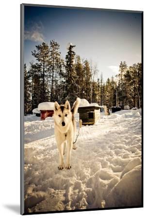 Husky Dog-Rebecca Lippett-Mounted Photographic Print