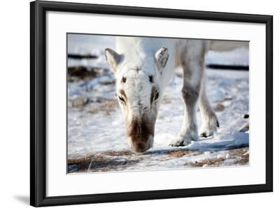 A Wild Reindeer on the Island of Spitsbergen, Svalbard, Norway-leaf-Framed Photographic Print