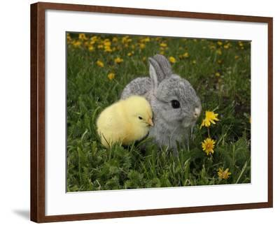 Gray Rabbit Bunny Baby and Yellow Chick Best Friends-Richard Peterson-Framed Photographic Print