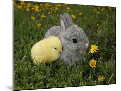 Gray Rabbit Bunny Baby and Yellow Chick Best Friends-Richard Peterson-Mounted Photographic Print