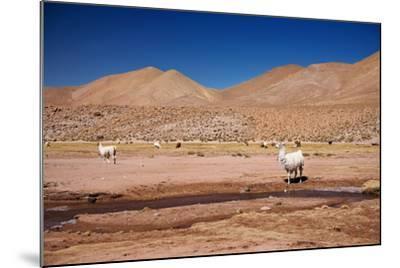 Lamas in Atacama Desert, Chile-Nataliya Hora-Mounted Photographic Print