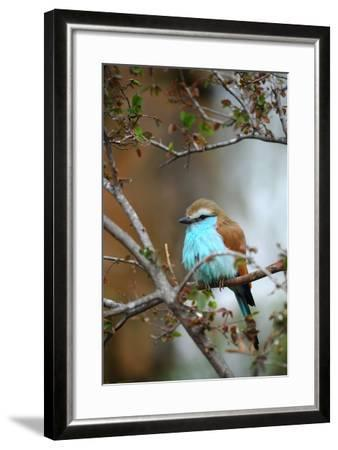 Racket-Tailed Roller-guntherize1-Framed Photographic Print