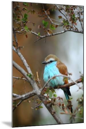 Racket-Tailed Roller-guntherize1-Mounted Photographic Print