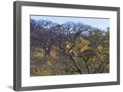 Males in a Tree-PattrickJS-Framed Photographic Print