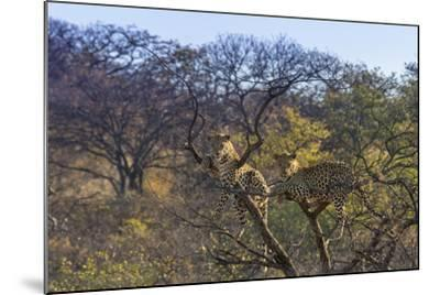 Males in a Tree-PattrickJS-Mounted Photographic Print