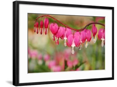 Pink Bleeding Heart Flower or 'Dicentra Spectabilis' in Spring Garden 'Keukenhof', Holland-dzain-Framed Photographic Print