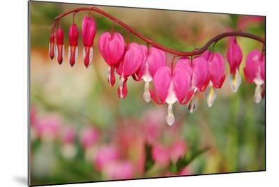 Pink Bleeding Heart Flower or 'Dicentra Spectabilis' in Spring Garden 'Keukenhof', Holland-dzain-Mounted Photographic Print