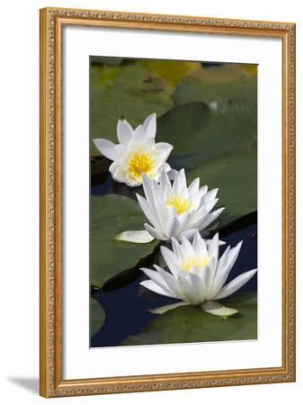 Three Water Lilies.-gjphotography-Framed Photographic Print