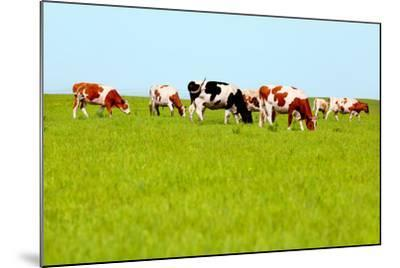 Cows Grazing on Pasture-Liang Zhang-Mounted Photographic Print