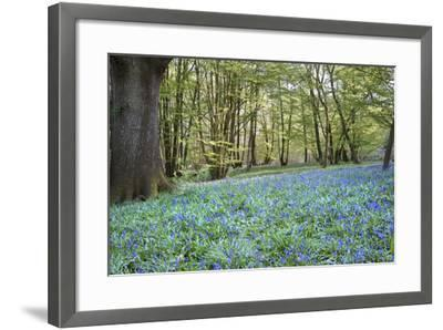 Bright Fresh Colorful Spring Bluebell Wood-Veneratio-Framed Photographic Print