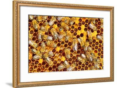 Working Bees on Honeycells-mady70-Framed Photographic Print