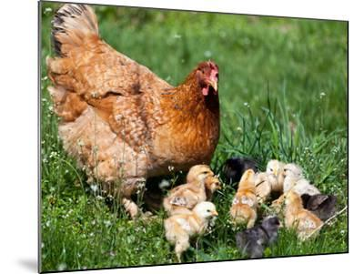 Chicken with Babies-Xilius-Mounted Photographic Print