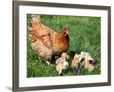 Chicken with Babies-Xilius-Framed Photographic Print