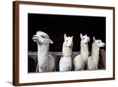Face of Four Funny Alpacas Llama in Farm-khunaspix-Framed Photographic Print