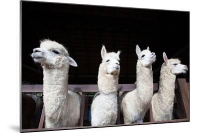 Face of Four Funny Alpacas Llama in Farm-khunaspix-Mounted Photographic Print