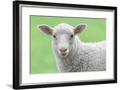 Face of A White Lamb-stefanholm-Framed Photographic Print