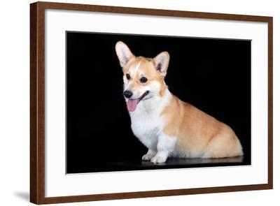 Pembroke Corgi-vivienstock-Framed Photographic Print