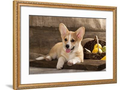 Cardigan Welsh Corgi Dog Breed-Lilun-Framed Photographic Print