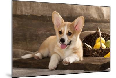 Cardigan Welsh Corgi Dog Breed-Lilun-Mounted Photographic Print