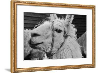 The Llama-meunierd-Framed Photographic Print