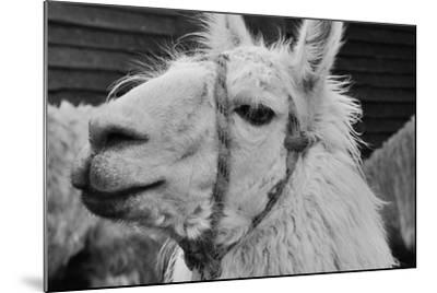 The Llama-meunierd-Mounted Photographic Print