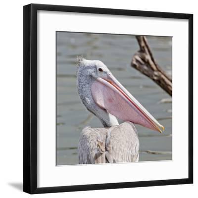 Closeup Spotted-Billed Pelecan Bird-Art9858-Framed Photographic Print
