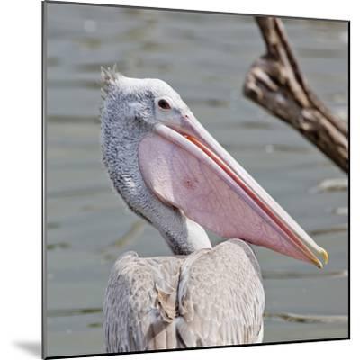 Closeup Spotted-Billed Pelecan Bird-Art9858-Mounted Photographic Print