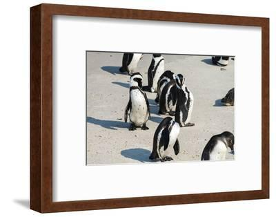 African Penguins at Simonstown (South Africa)-HandmadePictures-Framed Photographic Print