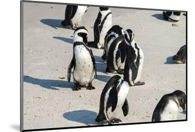 African Penguins at Simonstown (South Africa)-HandmadePictures-Mounted Photographic Print