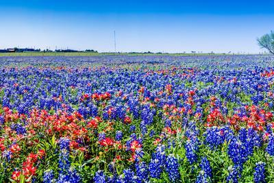 A Beautiful Wide Angle Hi Res Panoramic View of Bright Orange Paintbrush and Bluebonnet Wildflowers-Richard McMillin-Framed Photographic Print