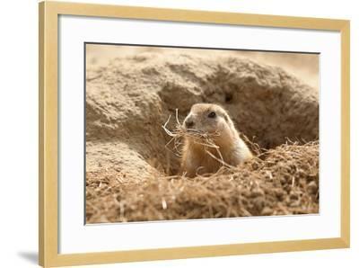 Prairie Dog-India1-Framed Photographic Print