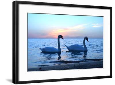 Swans-lindama-Framed Photographic Print