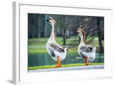 Pair of White Chinese Geese in A Park-zlikovec-Framed Photographic Print