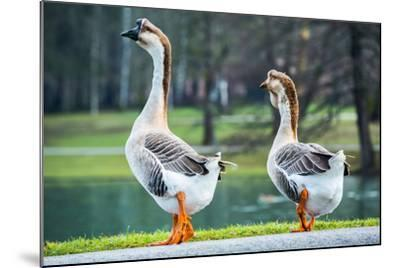Pair of White Chinese Geese in A Park-zlikovec-Mounted Photographic Print