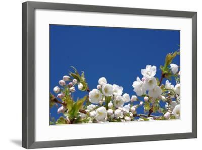 Cherry Blossom-torekimi-Framed Photographic Print