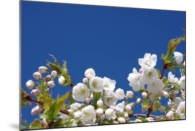 Cherry Blossom-torekimi-Mounted Photographic Print