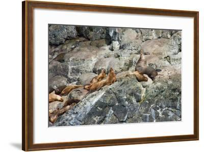 Sea Lions on Rock-Latitude 59 LLP-Framed Photographic Print