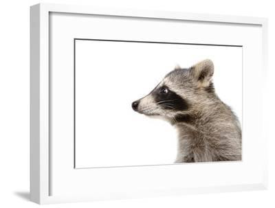 Portrait of a Raccoon in Profile-Sonsedskaya-Framed Photographic Print