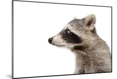 Portrait of a Raccoon in Profile-Sonsedskaya-Mounted Photographic Print